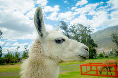 Nahaufnahmeporträt des netten Lamas Lizenzfreies Stockfoto