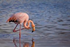 Nahaufnahmeporträt des rosa Flamingos Stockfotos