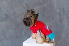 Nahaufnahmeporträt des Yorkshire-Terrierhundes in einem roten Kleid auf grauem Hintergrund Stockfotografie