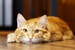 Nahaufnahmeporträt einer roten Katze, die auf einem Bretterboden liegt Lizenzfreie Stockfotos