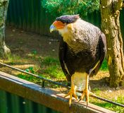 Nahaufnahmeporträt einer Schopfkarakarastellung auf einem Zaun, tropischer Raubvogel von Amerika stockbilder