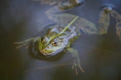 Nahaufnahmeporträt eines Frosches und der Insekten im Sumpf Stockfotografie