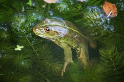 Nahaufnahmeporträt eines Frosches und der Insekten im Sumpf Lizenzfreies Stockbild