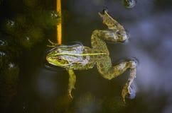 Nahaufnahmeporträt eines Frosches und der Insekten im Sumpf Stockfoto