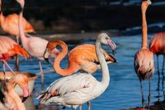 Nahaufnahmeporträt eines großen Flamingos im Moskau-Zoo lizenzfreie stockbilder
