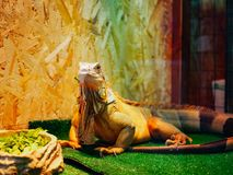 Nahaufnahmeporträt eines Leguan Leguanleguans, der einen Salat isst stockfoto