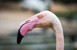 Nahaufnahmeporträt eines rosa Flamingos stockbilder