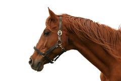 Nahaufnahmeporträt eines schönen Pferds gegen weißen Hintergrund Stockfotografie