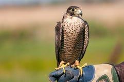 Nahaufnahmeporträt eines Wanderfalken, der auf der Hand des Falkners aufwirft Stockfoto