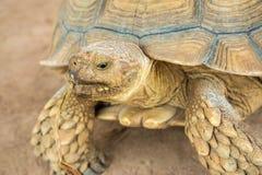 Nahaufnahmeporträt-Galapagos-Schildkröte in Thailand stockbilder