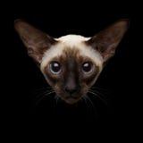 Nahaufnahmeporträt orientalischer Shorthair-Miezekatze, die Kamera betrachtet, lokalisierte schwarzen Hintergrund Stockfoto