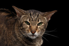 Nahaufnahmeporträt verärgertes orientalisches Schwarzes Cat Lookings in camera lokalisiert Lizenzfreies Stockfoto