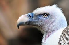 Nahaufnahmeporträt von Griffon Vulture (Gyps Fulvus) Lizenzfreies Stockfoto