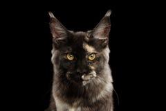 Nahaufnahmeporträt von Maine Coon Cat Lookis Angry, schwarz Stockbild