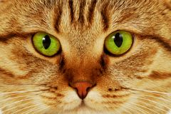 Nahaufnahmeportrait der green-eyed Katze Stockbilder