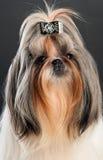 Nahaufnahmeportrait des shih tzu Hundes Stockbilder