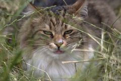 Nahaufnahmeportrait einer Katze lizenzfreie stockfotografie