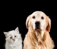 Nahaufnahmeportrait einer Katze und des Hundes Getrennt auf schwarzem Hintergrund Golden retriever und neva Maskerade lizenzfreie stockfotos