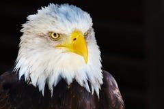 Nahaufnahmeportrait eines amerikanischen kahlen Adlers Stockfotos