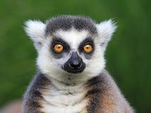 Nahaufnahmeportrait von Lemur catta lizenzfreie stockfotografie