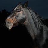 Nahaufnahmeportraitschwarzpferd in der Dunkelheit Stockfotografie
