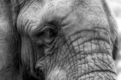 Nahaufnahmeporträt des Gesichtes eines afrikanischen Elefanten - schwärzen Sie und Stockfotos