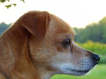 Nahaufnahmeprofil eines Sonnenbräune farbigen Hundes Lizenzfreies Stockbild