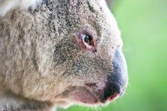 Nahaufnahmeprofilportrait eines wilden Koala Stockbilder