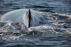 Nahaufnahmerückseite des Buckelwals Stockfoto