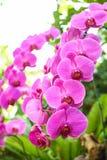 Nahaufnahmerosa-Orchidee flowe stockbilder