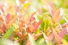 Nahaufnahmerot, Orang-Utan und grünes Blatt im Garten auf unscharfem backg Lizenzfreie Stockfotos