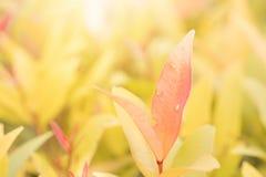 Nahaufnahmerot, Orang-Utan und grünes Blatt im Garten auf unscharfem backg Stockfotos