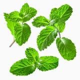 Nahaufnahmesatz Blätter der frischen Minzen Stockfotografie