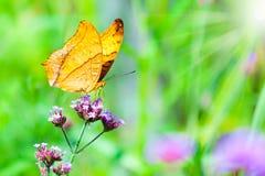 Nahaufnahmeschmetterling auf Blume mit Sonnenlicht, der Kreuzer Lizenzfreie Stockbilder