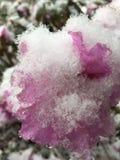 Nahaufnahmeschnee bedeckte Azaleenblüte Lizenzfreie Stockfotos