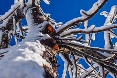 Nahaufnahmeschuß des schönen Baums bedeckt mit Schnee Lizenzfreie Stockfotos