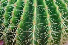 Nahaufnahmeschuß Thorn Echinocactus-grusonii Kaktus Lizenzfreies Stockbild