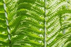 Nahaufnahmeschuß von grünen jungen Farnblättern Stockfotos