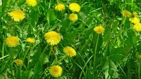 Nahaufnahmeschuß von Taraxacum campylodes Feld, gelbe Blume des jungen dandellion im üppigen Gras, das niedrigen Winkel des Winds stock video footage