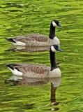 Nahaufnahmeschwimmen mit zwei Kanada-Gänsen lizenzfreie stockfotos
