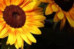 Nahaufnahmesonnenblumen Lizenzfreies Stockbild