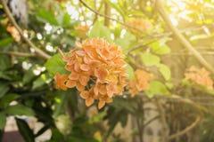 Nahaufnahmesonnenlicht-Naturhintergrund der Spitzenblume orange Lizenzfreie Stockfotos