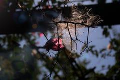 Nahaufnahmespiderweb und -blume mit Sonnenlicht stockbild