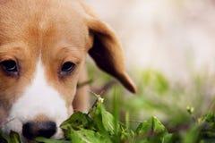 Nahaufnahmespürhund-Welpenporträt Stockbild