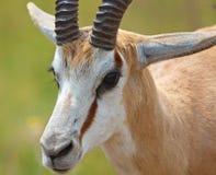 Nahaufnahmespringbuck-RAM Stockfotos