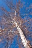 Nahaufnahmestamm und Niederlassungen der Frühlingsbirke auf Hintergrund des blauen Himmels Stockfotografie