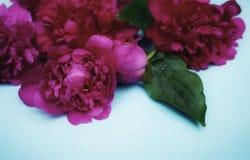 Nahaufnahmestillleben-Frischetag der schönen der Blumenhintergründe blauen Pfingstrose Farbroter purpurroter Stockfotos