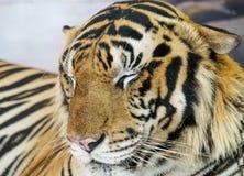 Nahaufnahmetiger, der im Zoo schläft Lizenzfreie Stockfotografie
