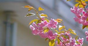 Nahaufnahmetrieb des schönen grünen Baums mit den rosa Blüten, die blühen in, wärmt möglicherweise Jahreszeit stock footage