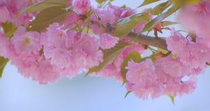Nahaufnahmetrieb des schönen grünen Baums mit den rosa Blüten, die blühen in, wärmt möglicherweise Jahreszeit mit blauem Himmel a stock video